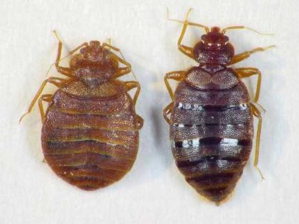 bed bugs | lone pine pest control | serving southwest virginia and